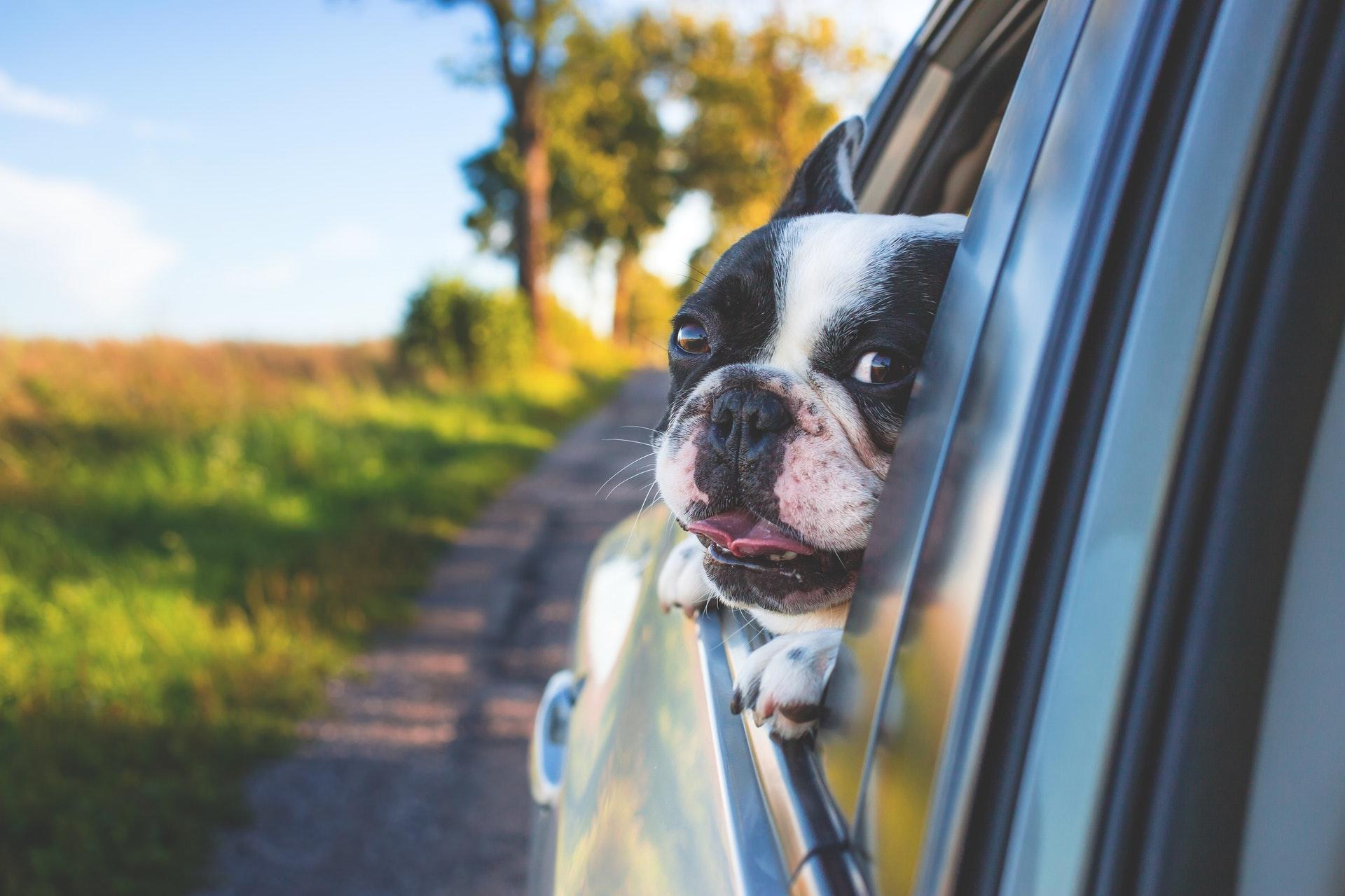 Mascota en un viaje en coche asomando la cara por la ventanilla